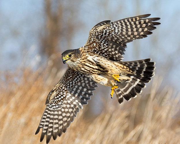 Дневные хищные птицы (Falconiformes) - Все о птицах