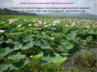 Флора Приморья включает 3000 видов растений Сохранилось более150 редких и ис