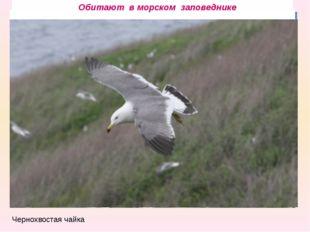 Камчатский краб Чернохвостая чайка трепанг ПОЛОСАТИК МАЛЫЙ Косатка ЛАРГА Сиву