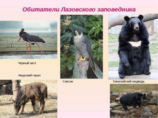 Обитатели Лазовского заповедника Гималайский медведь Сапсан Черный аист Амурс