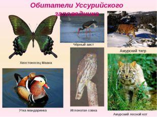 Хвостоносец Маака Утка мандаринка Амурский лесной кот Чёрный аист Иглоногая с