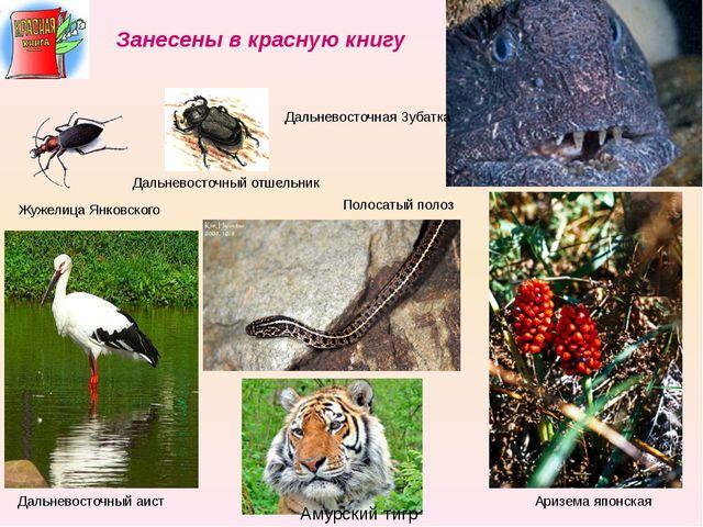 Жужелица Янковского Дальневосточный отшельник Дальневосточная Зубатка Дальнев...