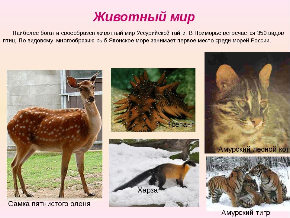 Животный мир Наиболее богат и своеобразен животный мир Уссурийской тайги. В...