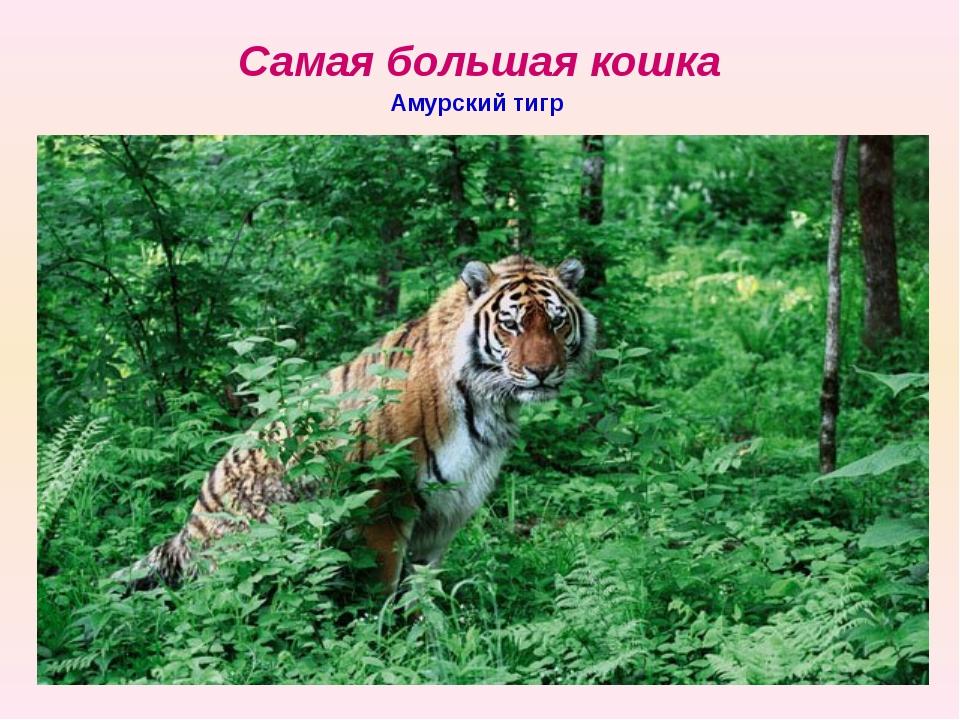 Самая большая кошка Амурский тигр