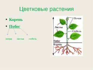 Цветковые растения Корень Побег почки листья стебель