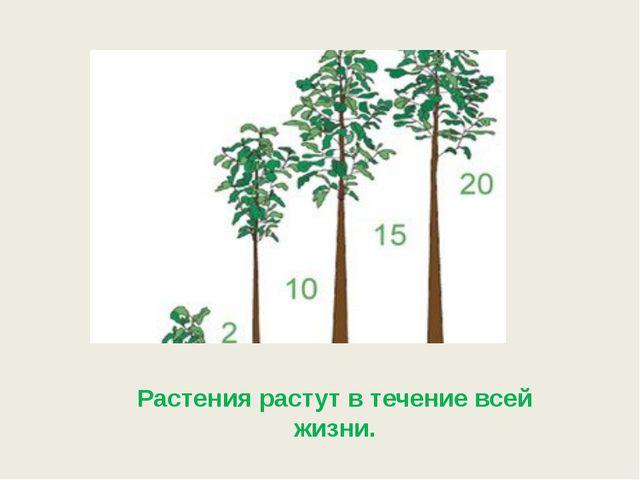 Растения растут в течение всей жизни.