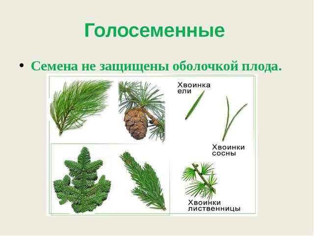 Голосеменные Семена не защищены оболочкой плода.