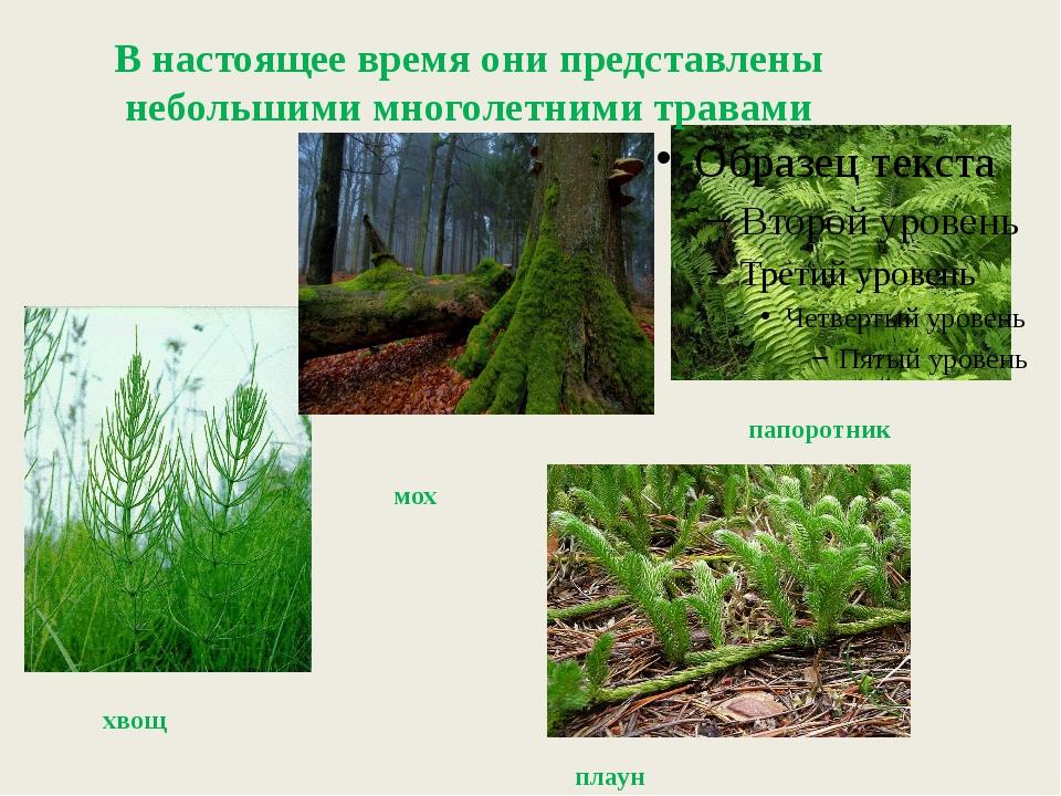 хвощ В настоящее время они представлены небольшими многолетними травами мох...