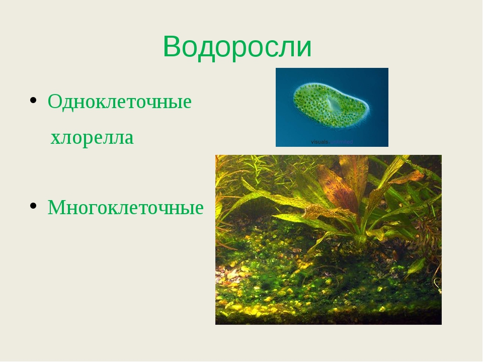 Водоросли Одноклеточные хлорелла Многоклеточные
