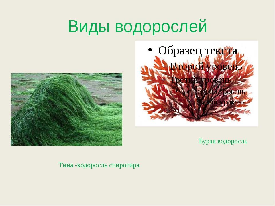 Виды водорослей Тина -водоросль спирогира Бурая водоросль