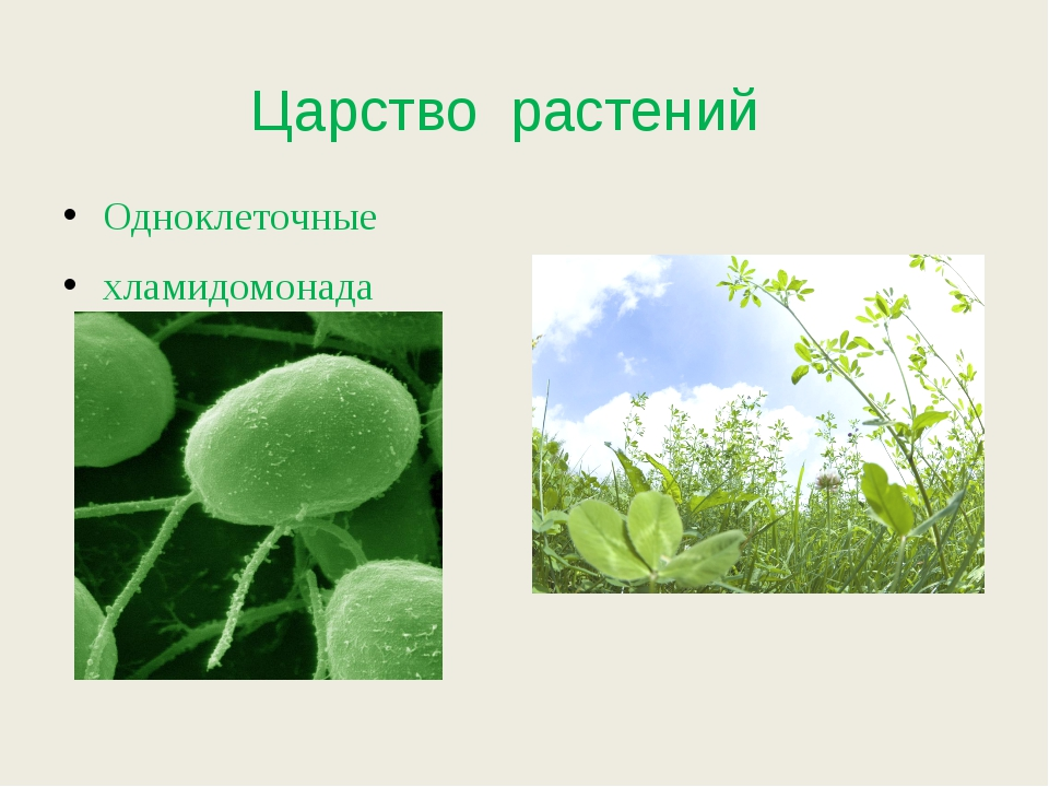 Царство растений Одноклеточные хламидомонада многоклеточные