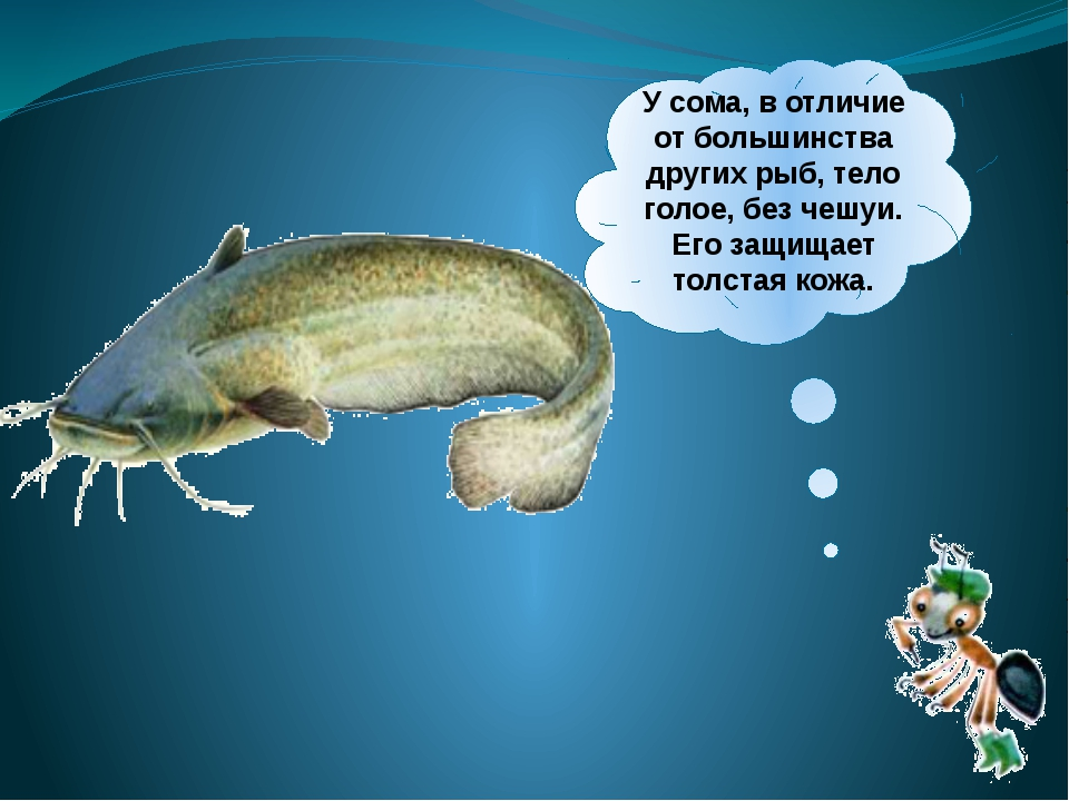 Усома, вотличие отбольшинства других рыб, тело голое, без чешуи. Его защи...