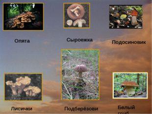 Опята Сыроежка Подосиновик Лисички Подберёзовик Белый гриб