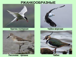 РЖАНКООБРАЗНЫЕ Крачка полярная Чибис Песочник - крошка Чайка морская