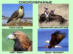 СОКОЛООБРАЗНЫЕ Сокол-сапсан Орёл - беркут Африканский ушастый гриф Орлан - бе