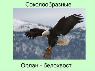 Орлан - белохвост Соколообразные