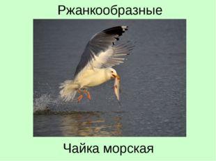 Чайка морская Ржанкообразные