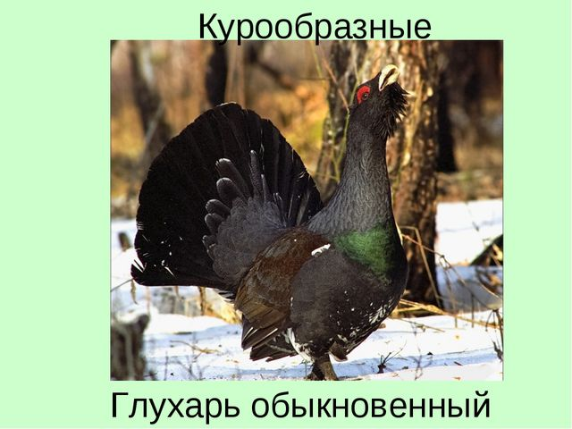 Глухарь обыкновенный Курообразные