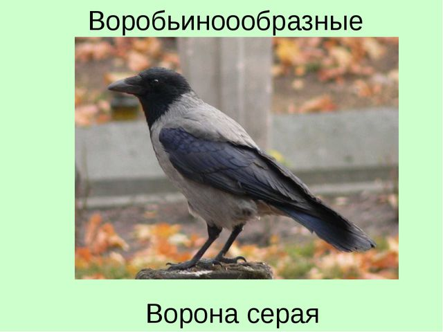 Ворона серая Воробьиноообразные