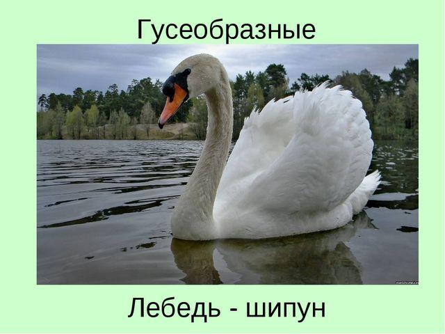 Лебедь - шипун Гусеобразные