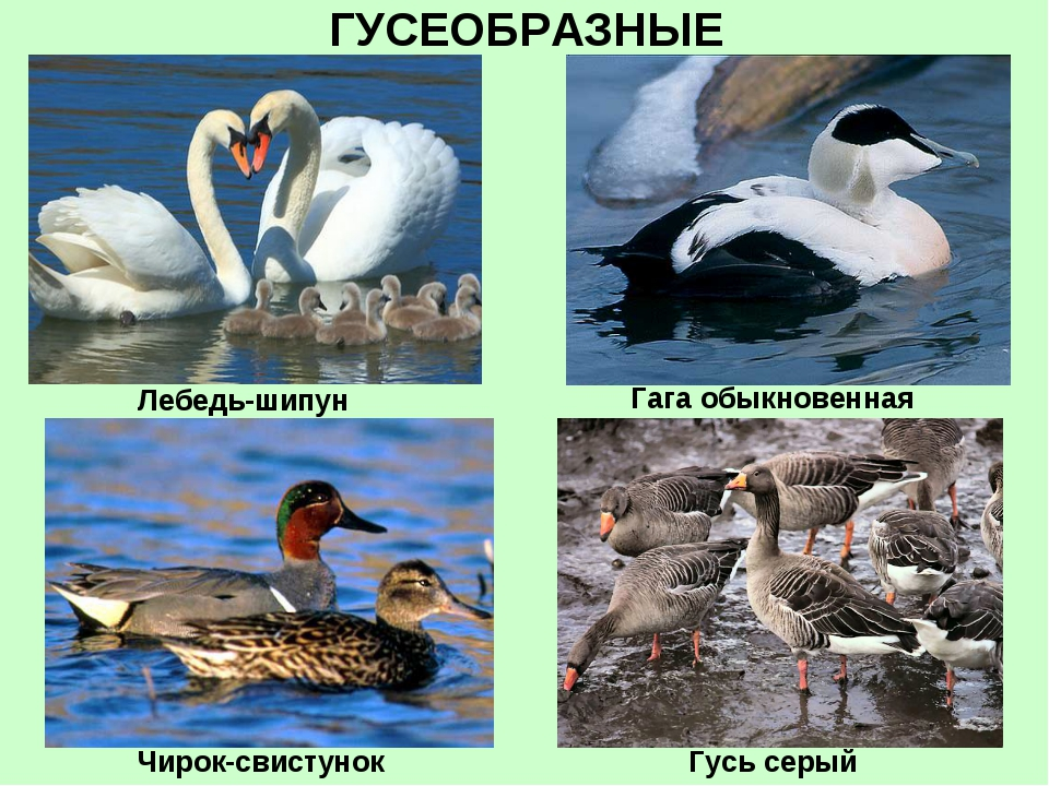 ГУСЕОБРАЗНЫЕ Лебедь-шипун Чирок-свистунок Гусь серый Гага обыкновенная