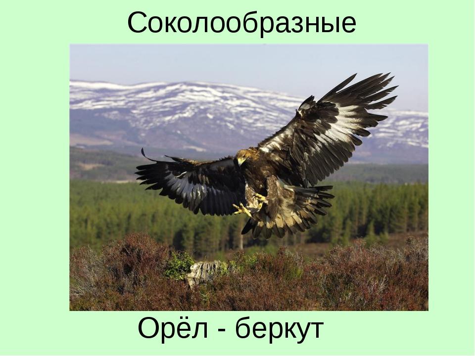 Орёл - беркут Соколообразные