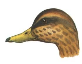 H:\Картинки для дня птиц\Голова 3.jpg