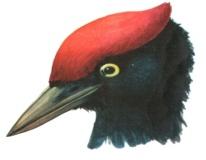 H:\Картинки для дня птиц\Голова 4.jpg