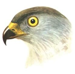 H:\Картинки для дня птиц\Голова 5.jpg