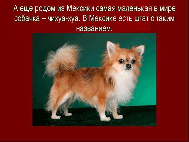 А еще родом из Мексики самая маленькая в мире собачка – чихуа-хуа. В Мексике...