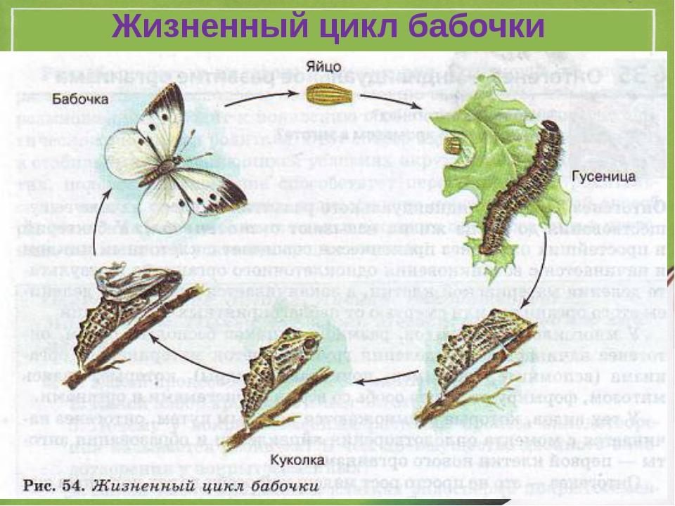 Жизнь бабочки схема