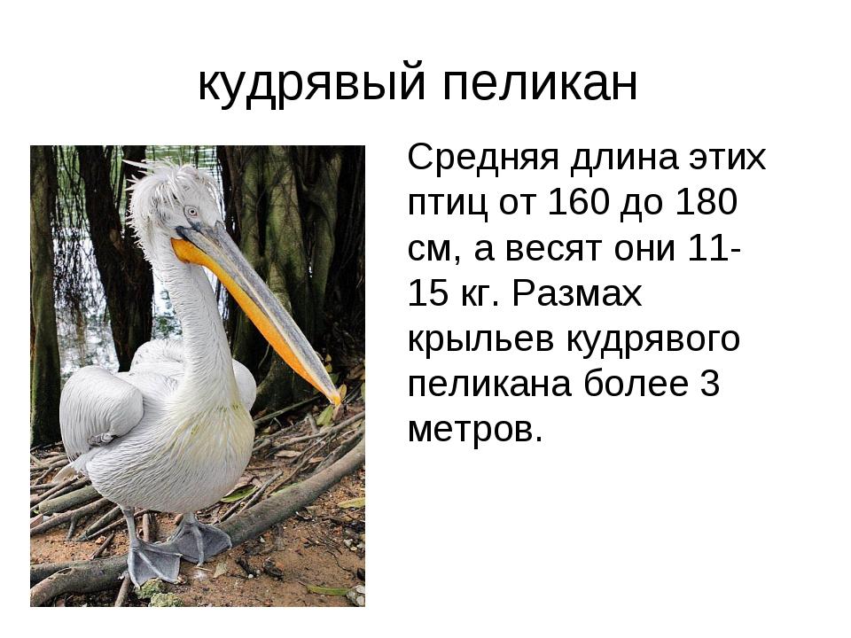 Пеликан размах крыльев