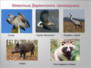 Орлан-белохвост Скопа Кабан Журавль серый Енотовидная собака