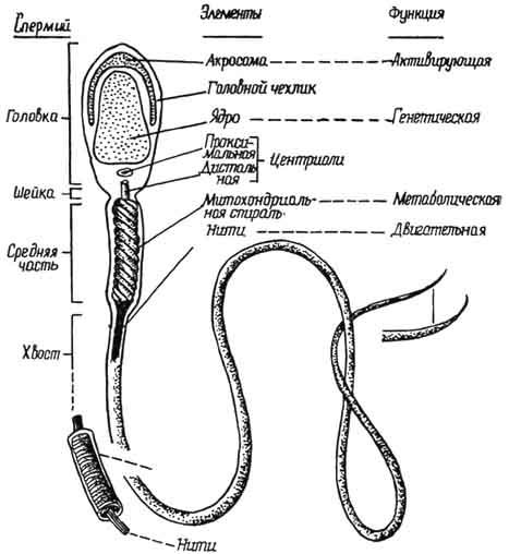 http://hystology.ru/img/B10457p46-a1.jpg