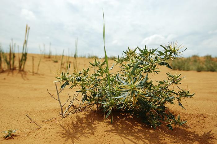 Комнатное растение с мелкими листьями и большими колючками - Фото цветов