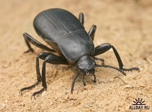 Семейство чернотелки (Tenebrionidae)
