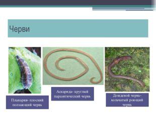 Черви Дождевой червь- кольчатый роющий червь Планария- плоский ползающий черв