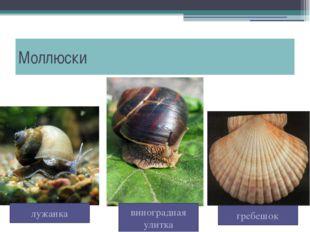 Моллюски гребешок лужанка виноградная улитка