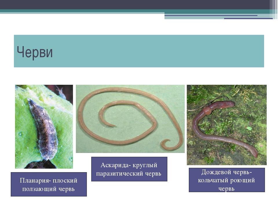 Черви Дождевой червь- кольчатый роющий червь Планария- плоский ползающий черв...