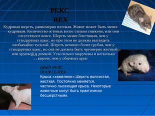 РЕКС REX Кудрявая шерсть, равномерно плотная. Живот может быть менее кудрявым