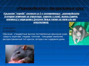 """«Разновидности» декоративных крыс Крысиная """"порода"""" состоит из 3-х составляю"""
