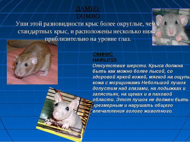 ДАМБО DUMBO Уши этой разновидности крыс более округлые, чем у стандартных кры...