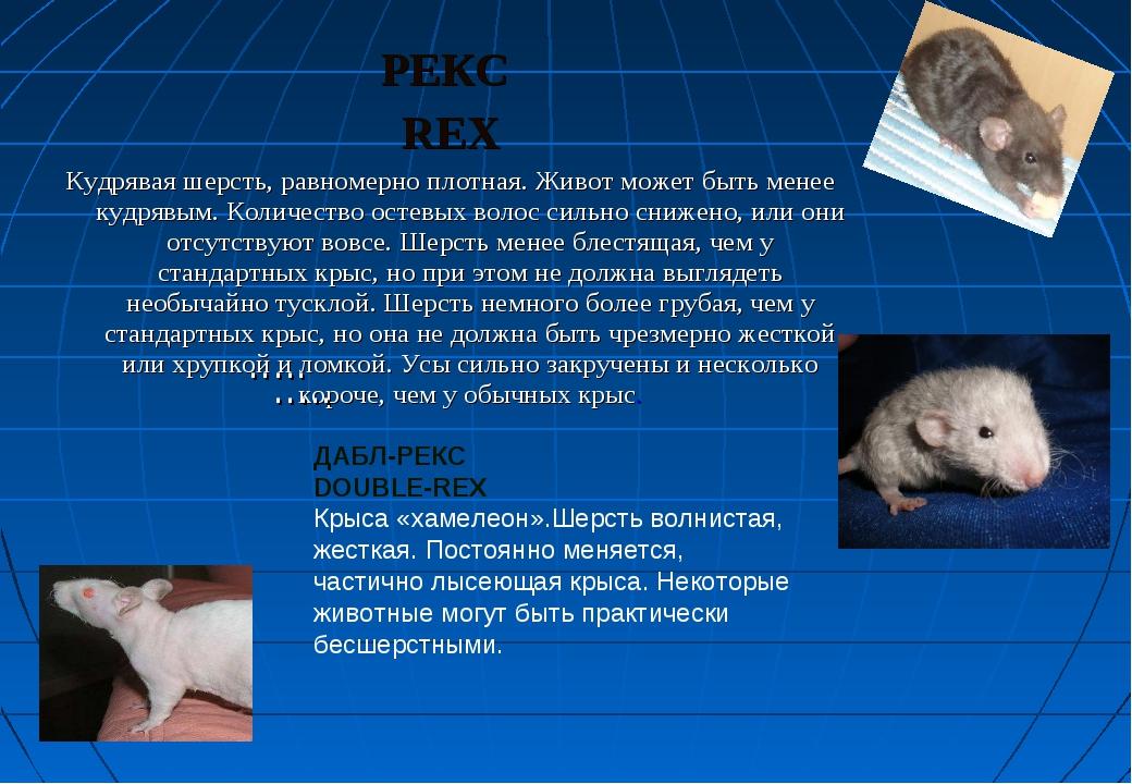 РЕКС REX Кудрявая шерсть, равномерно плотная. Живот может быть менее кудрявым...