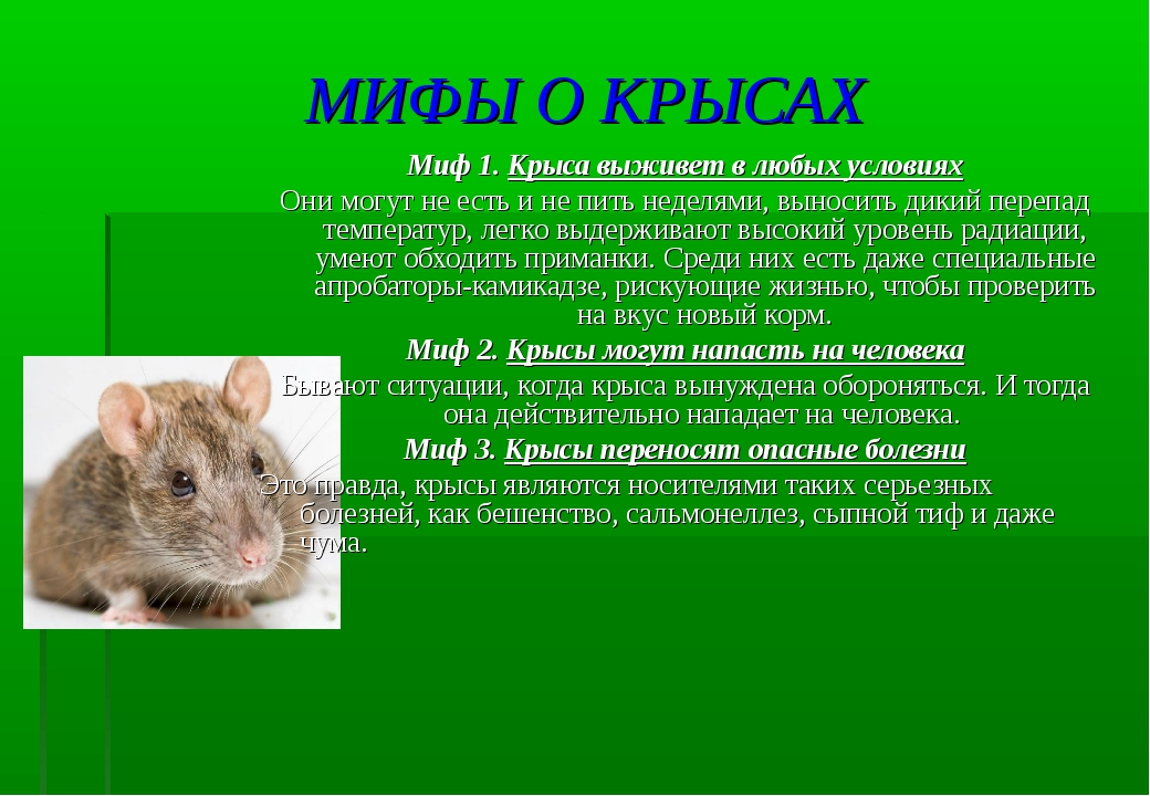 МИФЫ О КРЫСАХ Миф 1. Крыса выживет в любых условиях Они могут не есть и не пи...