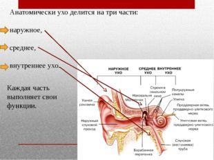 Анатомически ухо делится на три части: наружное, среднее, внутреннее ухо. Каж