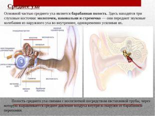 Среднее ухо Основной частью среднего уха является барабанная полость. Здесь н