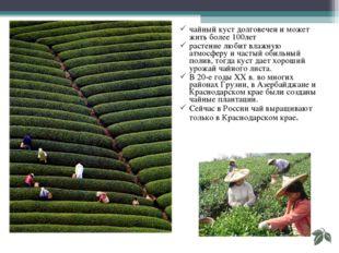 чайный куст долговечен и может жить более 100лет растение любит влажную атмос
