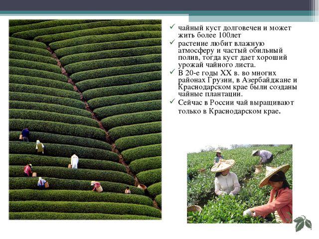 чайный куст долговечен и может жить более 100лет растение любит влажную атмос...