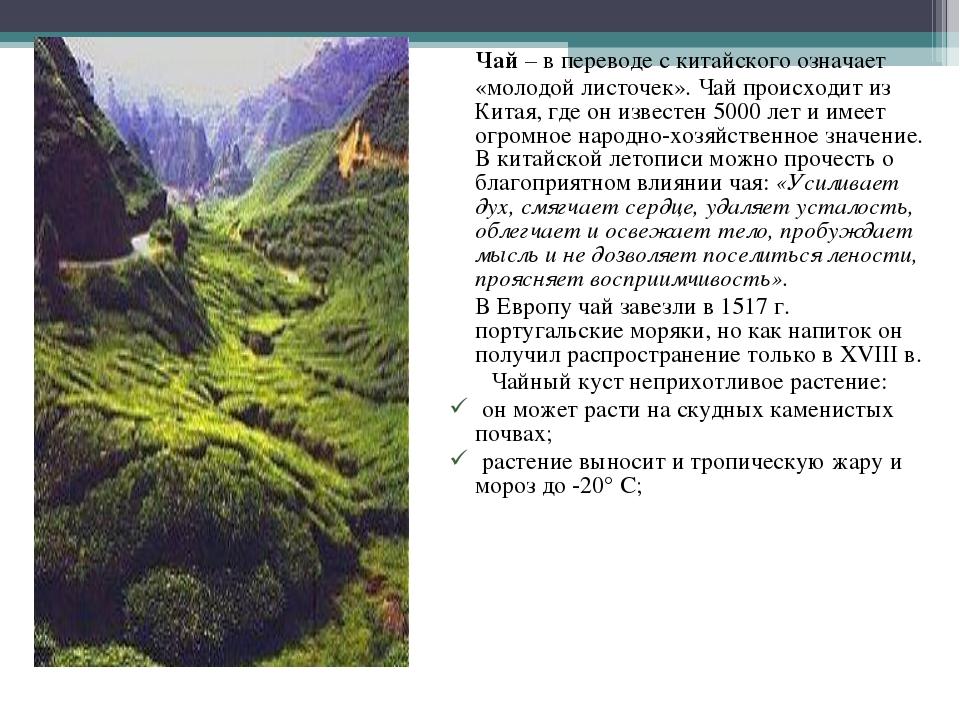 Чай – в переводе с китайского означает «молодой листочек». Чай происходит из...