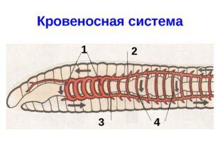 Кровеносная система 1 2 3 4